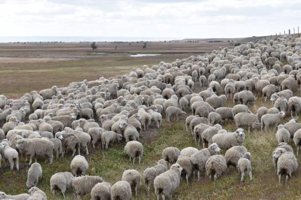 칠레, 파타고니아의 초원에 있는 많은 양들 스톡 사진
