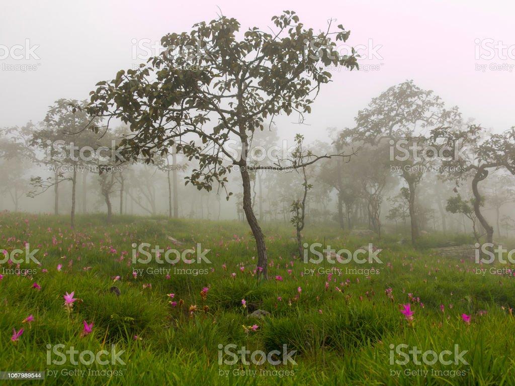 Many Siam Tulip flowers (Dok krachiao) withered in field according seasonal. stock photo