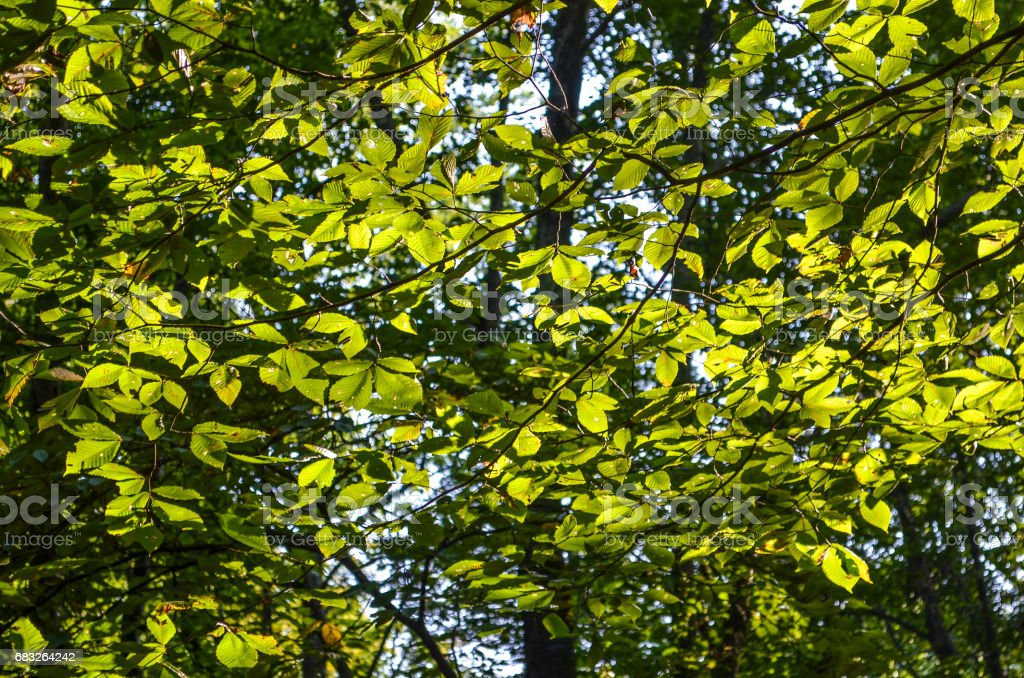 Many slippery elm tree leaves in sunlight with yellow green tint stock photo