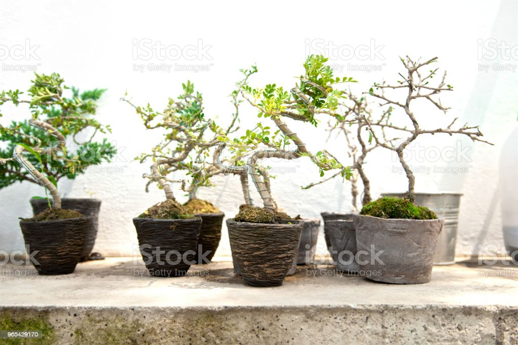 Many small bonsai tree in the clay pot. Little cute decorative plant,  Modern house design. Black and white colors. Close up. royalty-free stock photo