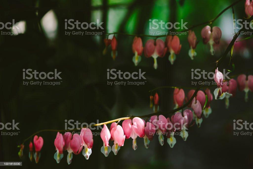 Viele Kleine Blüten Von Dicentra Spectabilis Wachsen Auf Einem Ast