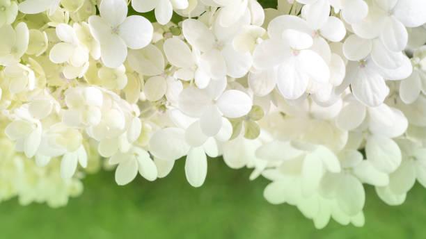 many small flowers of white hydrangea on a green background. - hortensja zdjęcia i obrazy z banku zdjęć