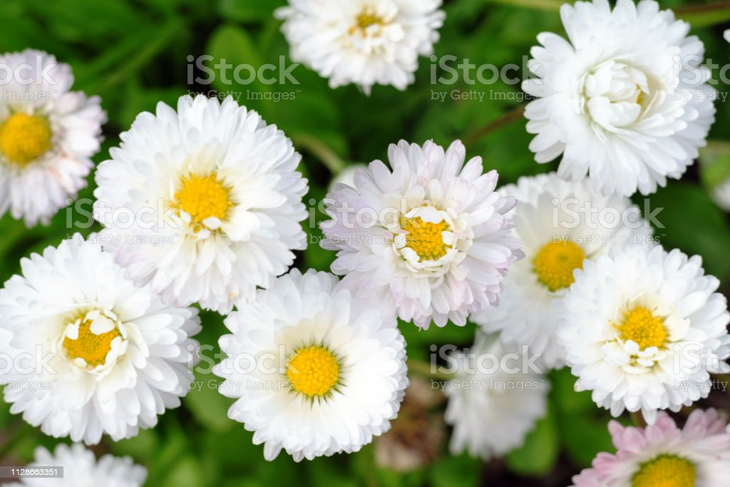 Many small light daisies on green leaves background, floral spring background top view stock photo