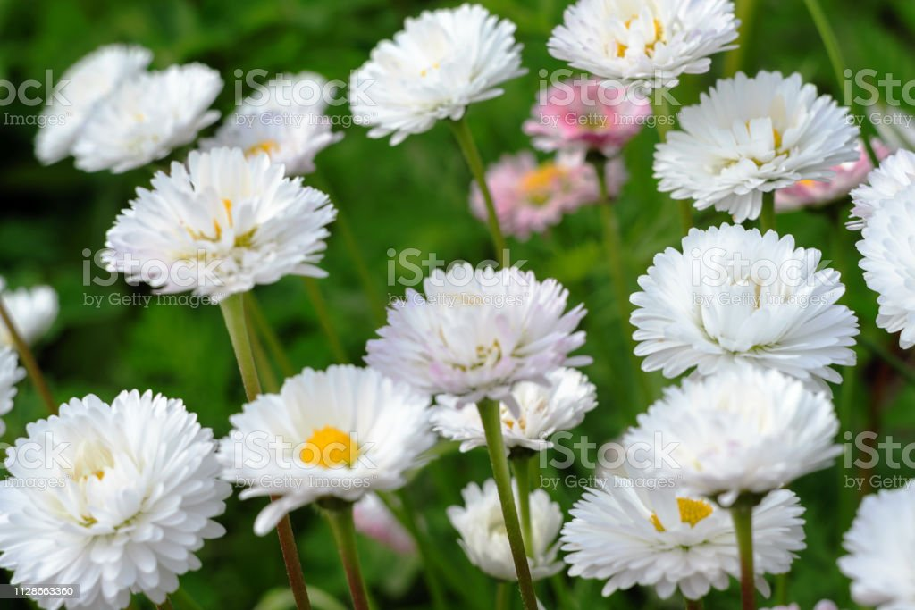 Many small light daisies on green leaves background, floral spring background soft focus blur stock photo