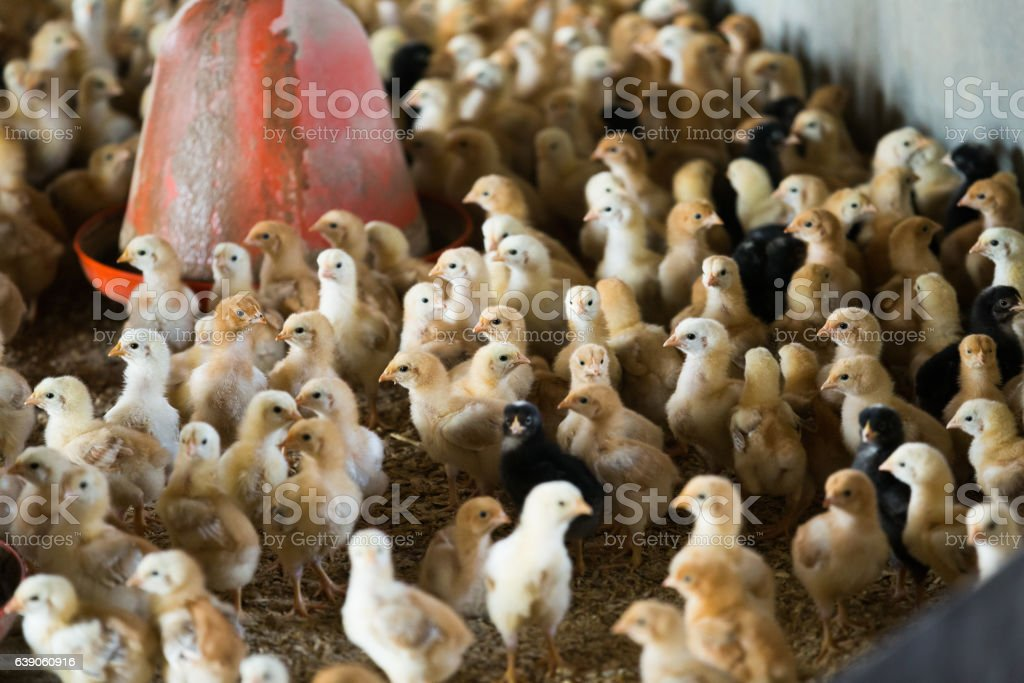 Many small multicolored chicks stock photo