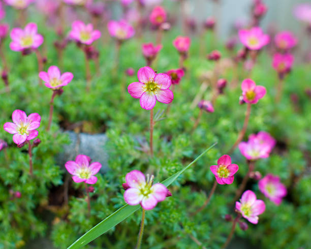 Many Small Pink Flowers Center in Focus stock photo