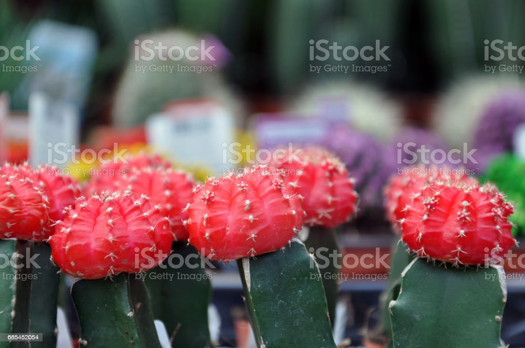 Many small red and green cactus close up (Gymnocalycium). foto de stock royalty-free