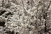Many small white flowers on the tree in spring in sunny clear weather, background. The coming of spring concept