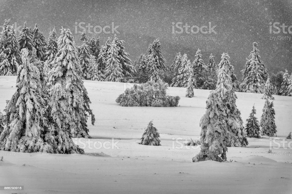 Many snow covered fir trees stock photo