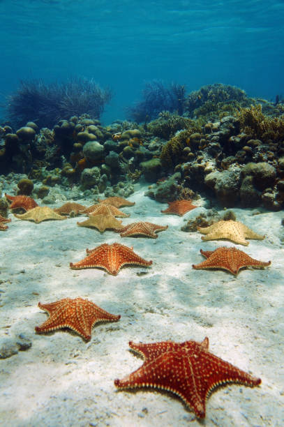 Many starfish underwater with a coral reef stock photo