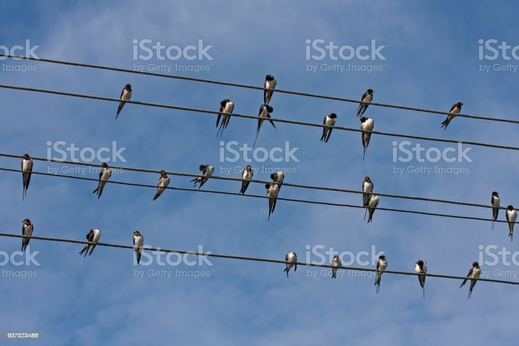 Many swallows sitting on the wires stock photo