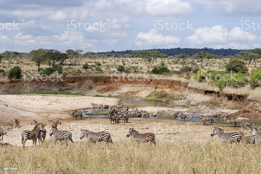 many thirsty zebras at a water hole royalty-free stock photo