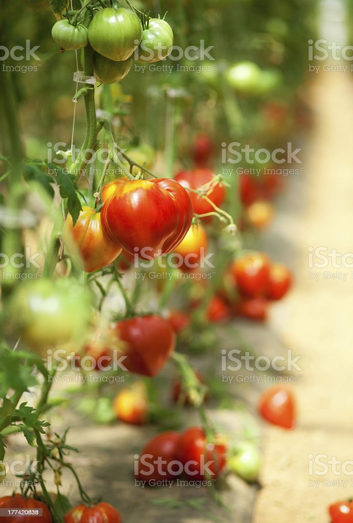 Many tomatoes growing in a glasshouse royalty-free stock photo