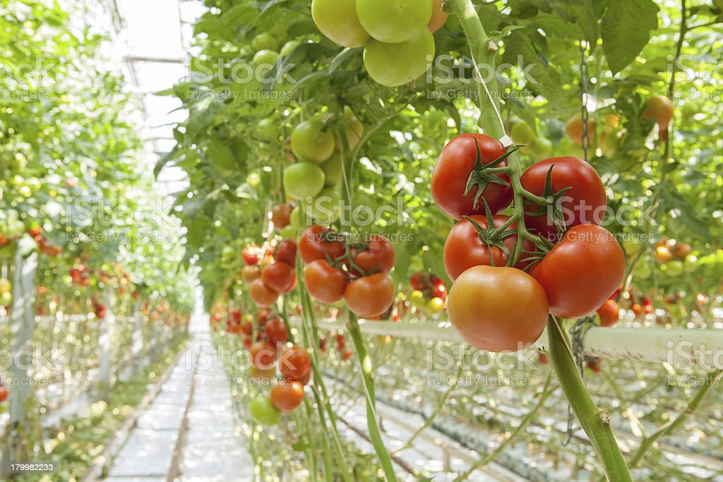 Many tomatoes growing on the fence in a green house stock photo