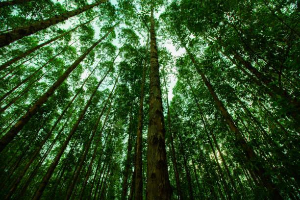 många träd planterade för industrin - forest bildbanksfoton och bilder