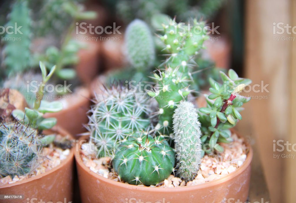 Many type of cactus grow in pots royalty-free stock photo