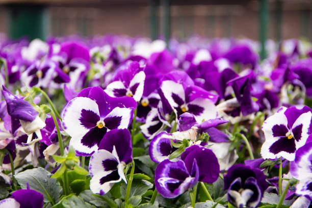 many violet flowers in a flowerbed with a place for the inscription Close up of colorful violet viola flower in garden, spring flowerbed with a place for the inscription ith copyspace pansy stock pictures, royalty-free photos & images