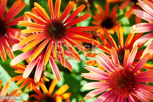 Many vivid rudbeckia flowers on the summer meadow. Floral and herbal wallpapers and backgrounds