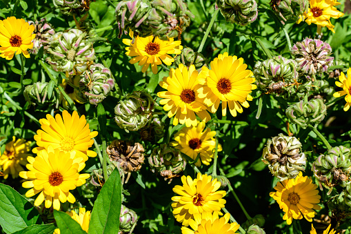 Many vivid yellow orange flowers of Calendula officinalis plant, known as pot marigold, ruddles, common or Scotch marigold in a sunny summer garden, textured floral background