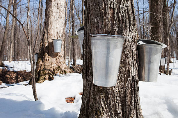 many water buckets hanging on maple trees - maple syrup stock photos and pictures
