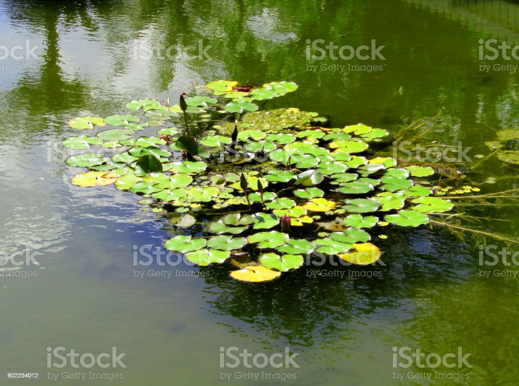 Many waterweeds of pond in Japan stock photo