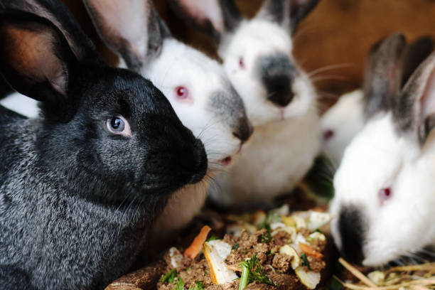 Many white and black rabbits eat food in a cage. stock photo