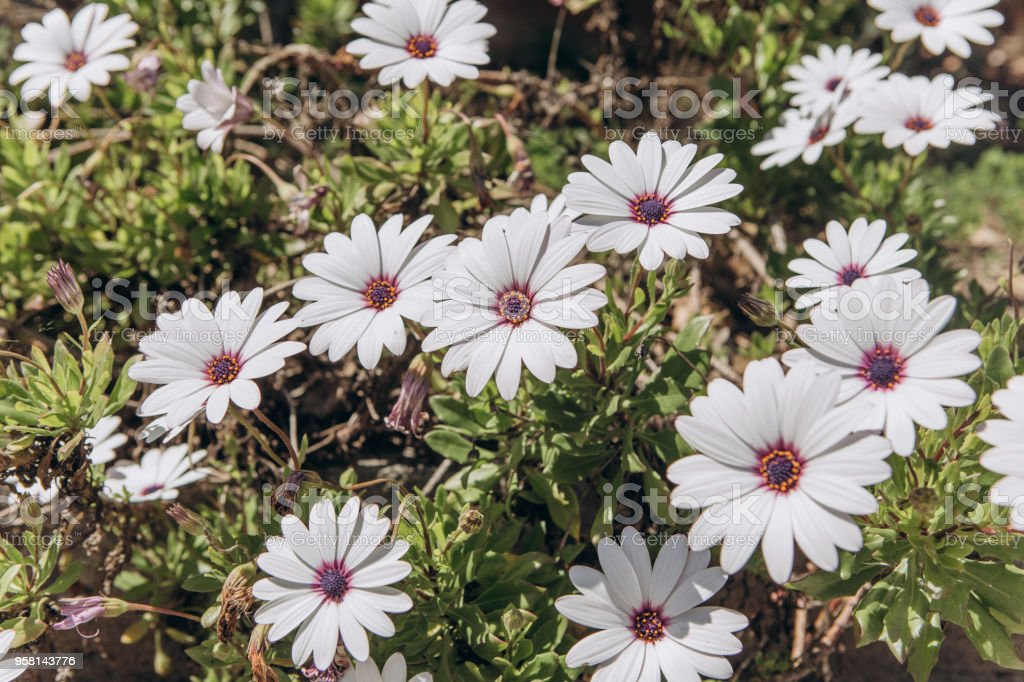 Many White Beautiful Flowers Of Daisies Flowering Plants In Spring