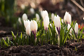 Many white crocuses bloom in the garden on a sunny day. One of the first spring flowers. Background
