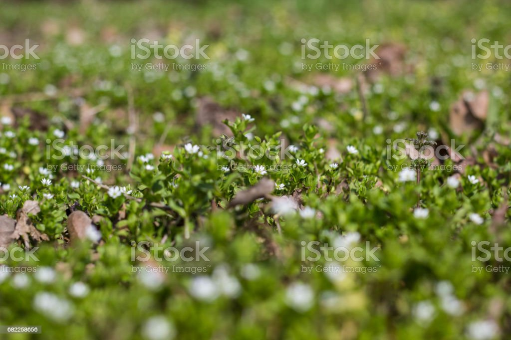 Many white daisies in top view of meadow stock photo