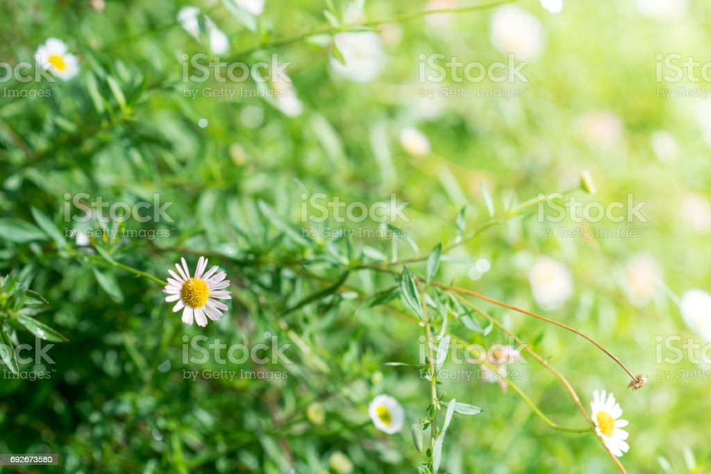 Many white daisies, several Bird's-eye Speedwell also visible stock photo