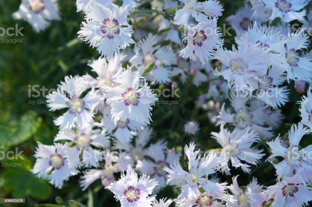 Many white dianthus repens or carnation flowers stock photo