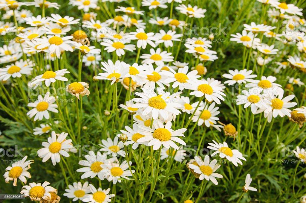 Muchas flores sobre un fondo blanco jardines naturales de fondo. foto de stock libre de derechos