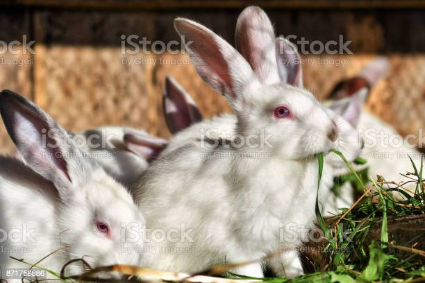 Many white rabbits eat green juicy grass in a cage picture id871756886?b=1&k=6&m=871756886&s=612x612&h=x5stujvzl8jb32x0ink6wayb8imdvp1dngb1ploazvw=