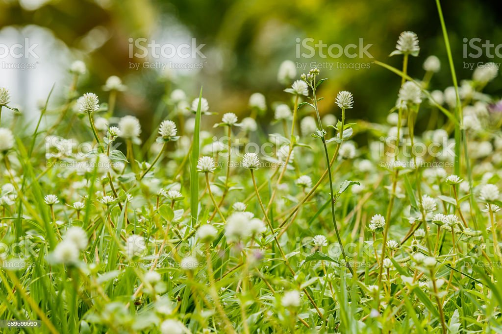 Many white small flowers  of meadow stock photo