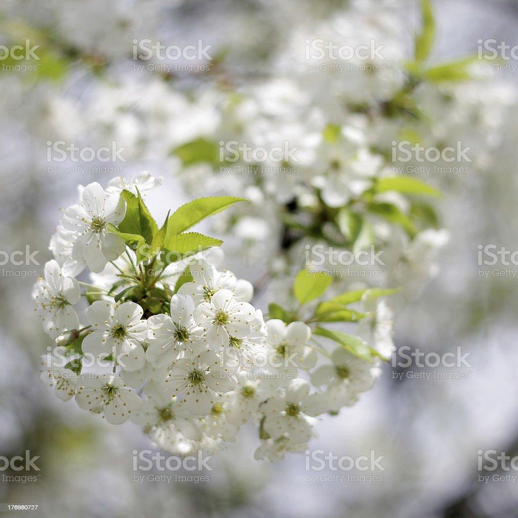 many white spring flowers stock photo