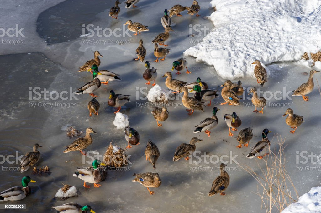 A lot of wild ducks and drake feed and walk on the ice in the spring...