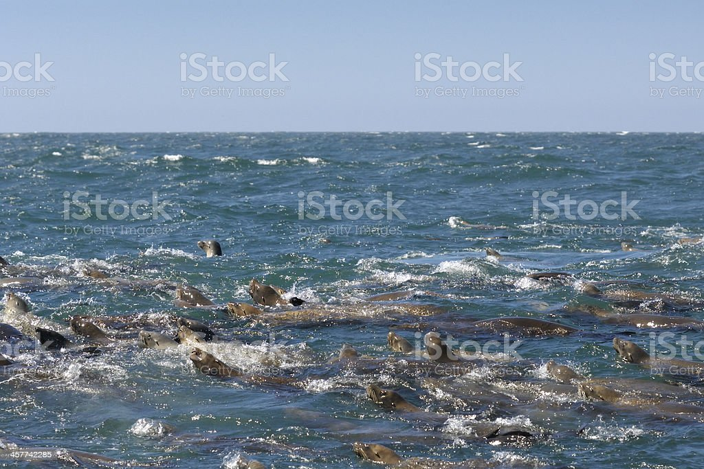 Many Wild Sea Lions in a Feeding Frenzy royalty-free stock photo