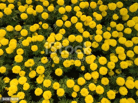 Many Yellow Calendula Flowers Blooming in The Background