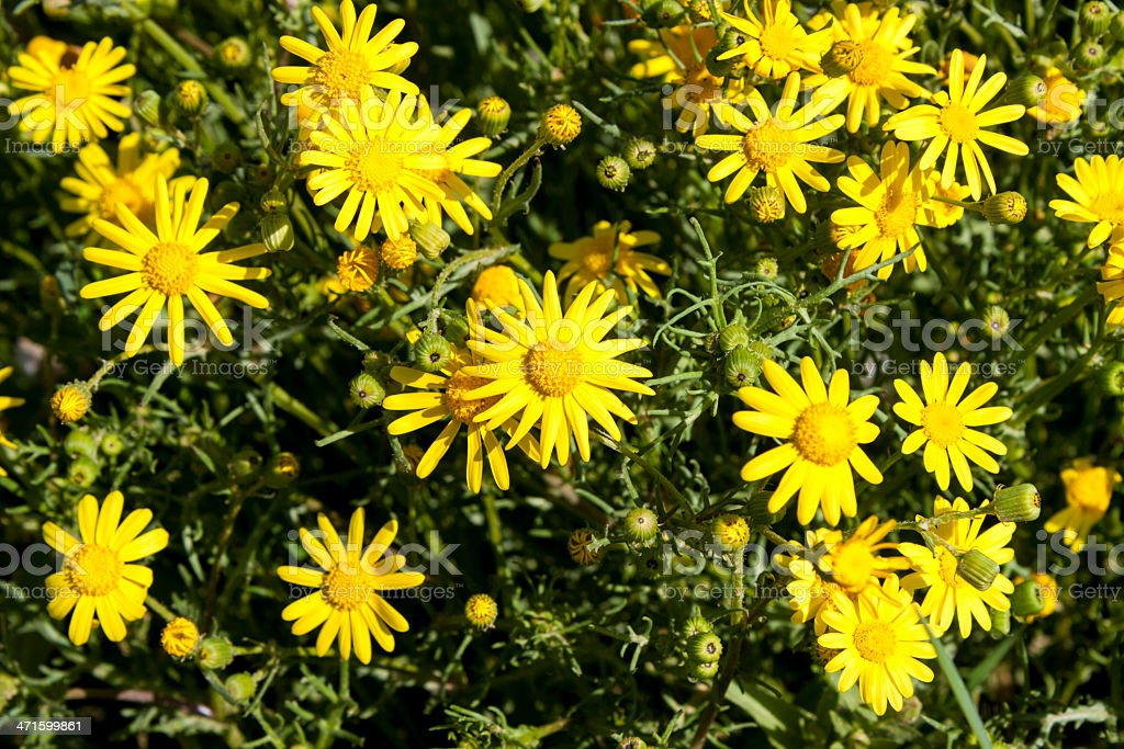 Many yellow camomile royalty-free stock photo