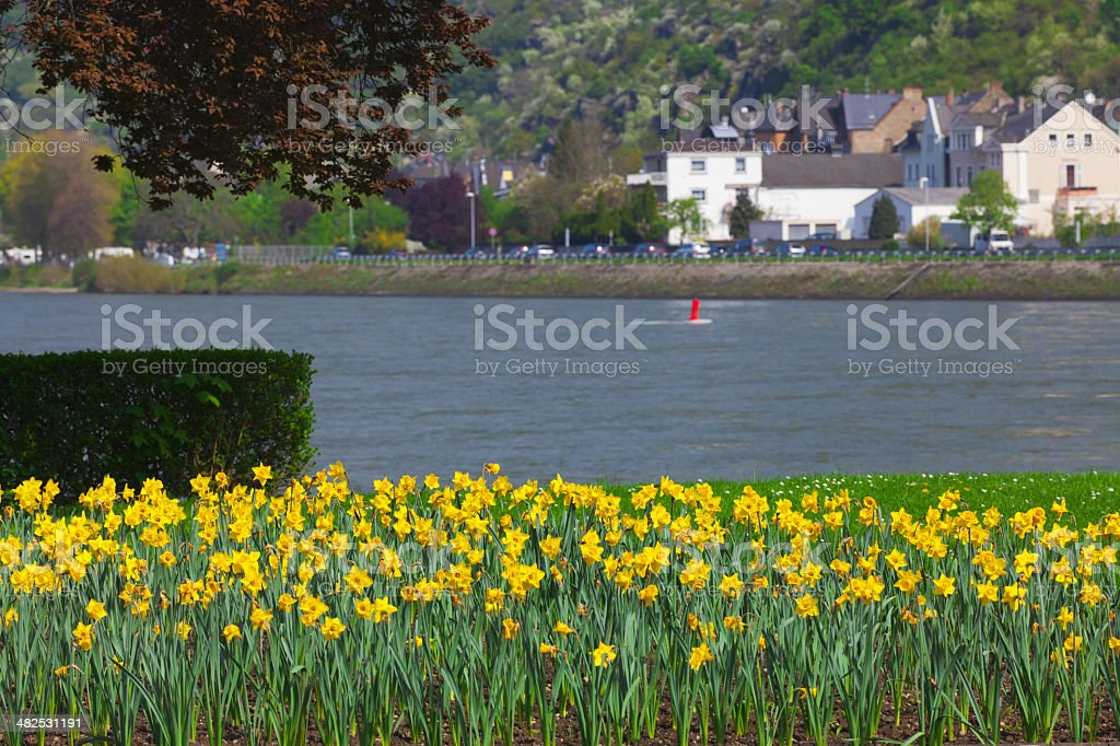 Many yellow Daffodils on banks of the Rhine stock photo