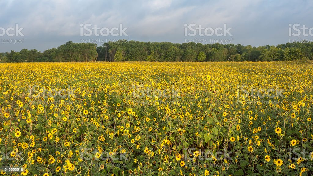 Many Yellow flowers with trees in the background and cloudy stock photo