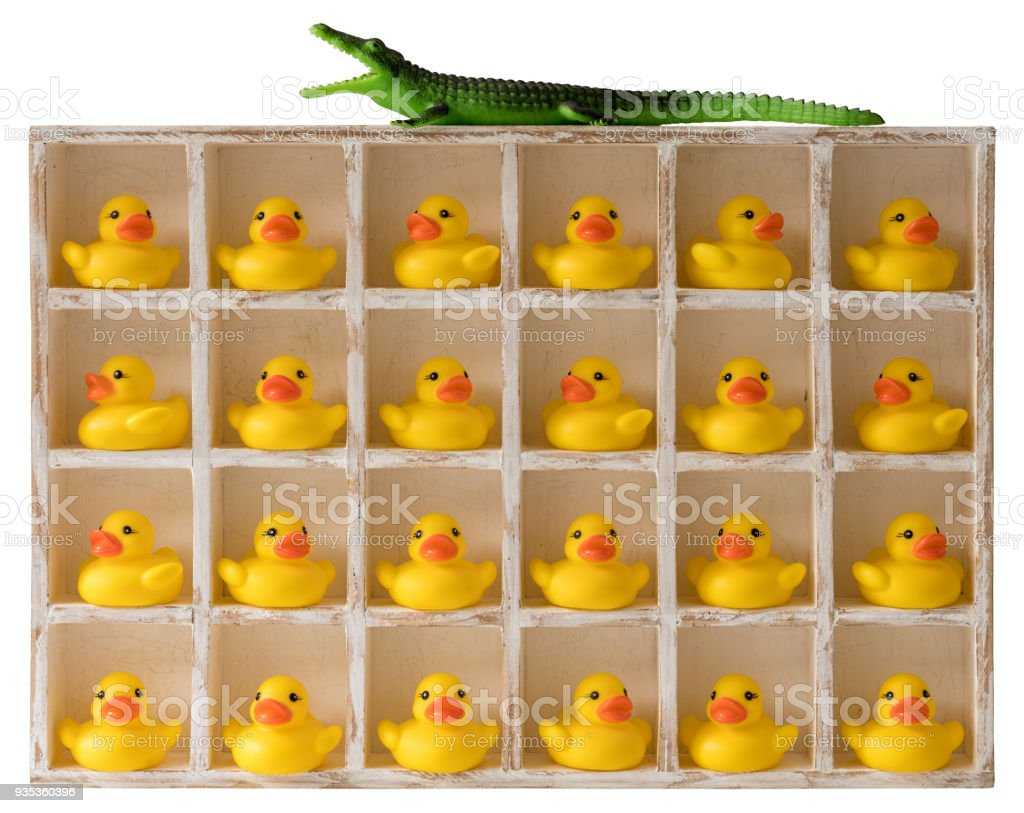 Many yellow rubber ducks in wooden pigeon hole compartments with a ferocious crocodile lurking on the top of the compartments. stock photo