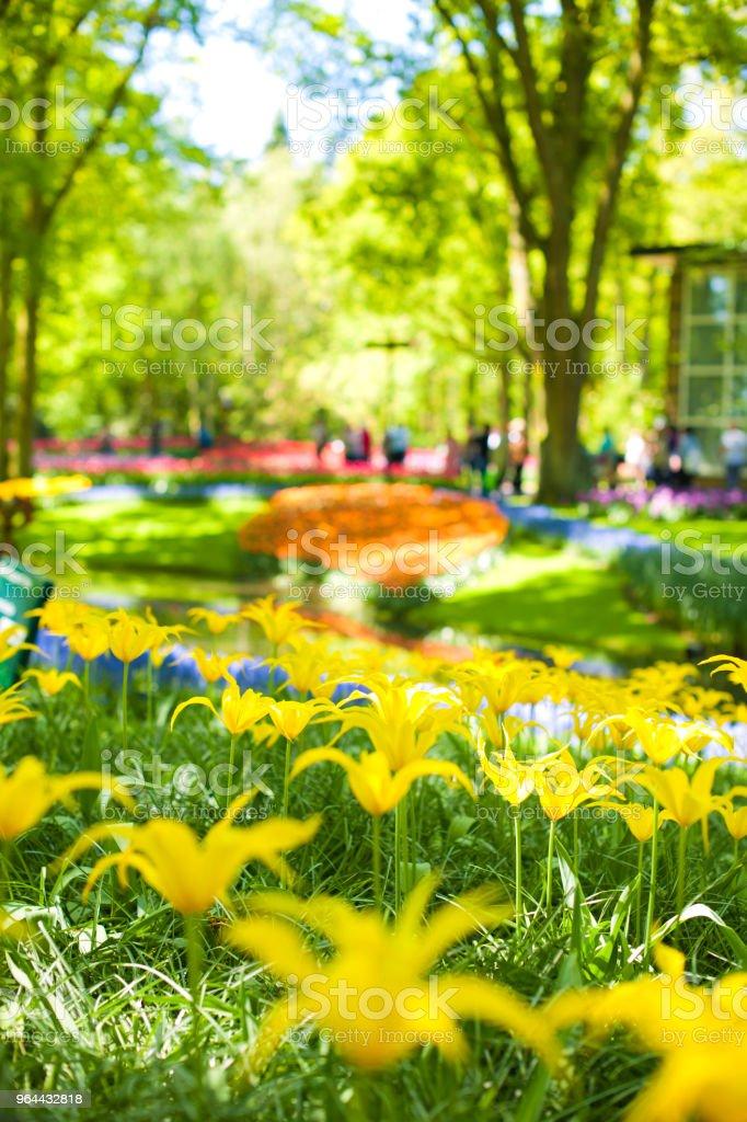 Muitas tulipas amarelas e canteiros de flores lindas. Parque com flores Keukenhof na primavera. Holland. Presente de cartão postal - Foto de stock de Amarelo royalty-free