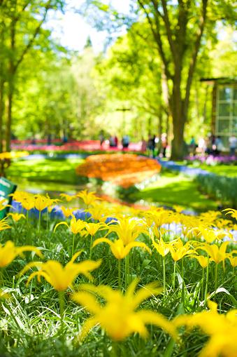 Foto de Muitas Tulipas Amarelas E Canteiros De Flores Lindas Parque Com Flores Keukenhof Na Primavera Holland Presente De Cartão Postal e mais fotos de stock de Amarelo