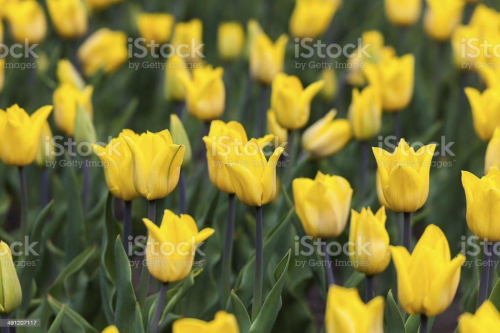 many yellow tulips royalty-free stock photo