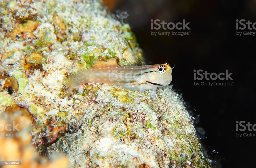 Many-toothed blenny stock photo