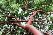 istock Manzanita bush trunk and leaves 1289799448