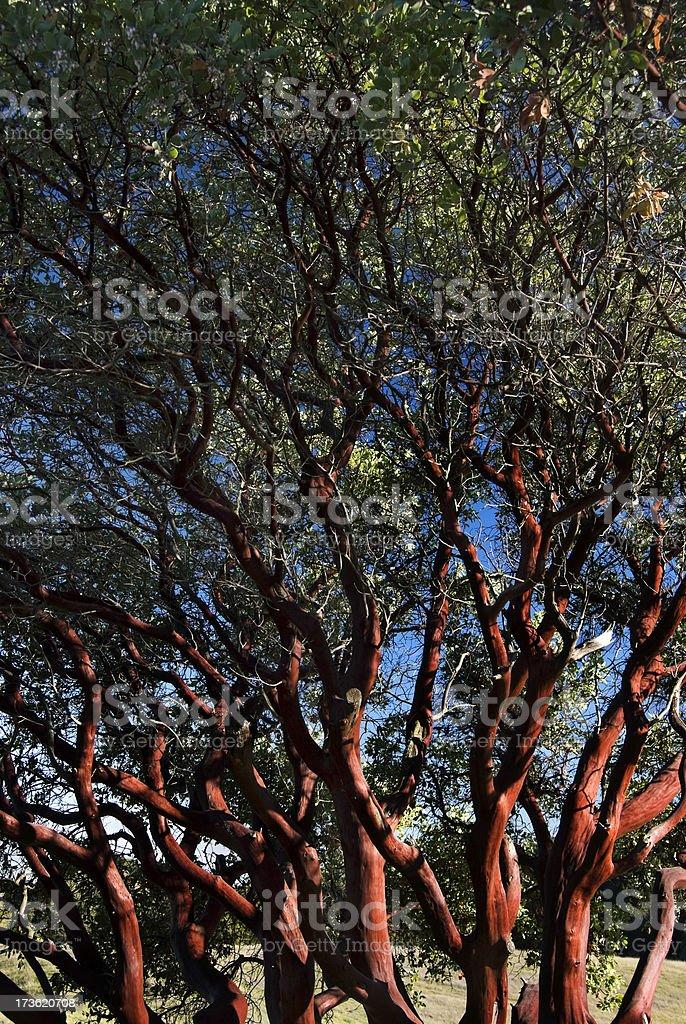 Manzanita Tree royalty-free stock photo