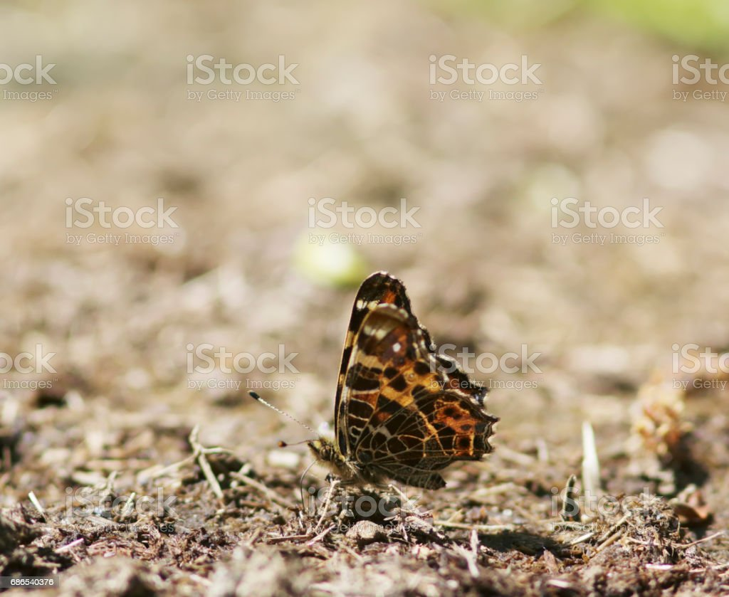 Map Butterfly (Araschnia levana) 1st Generation on Dung zbiór zdjęć royalty-free