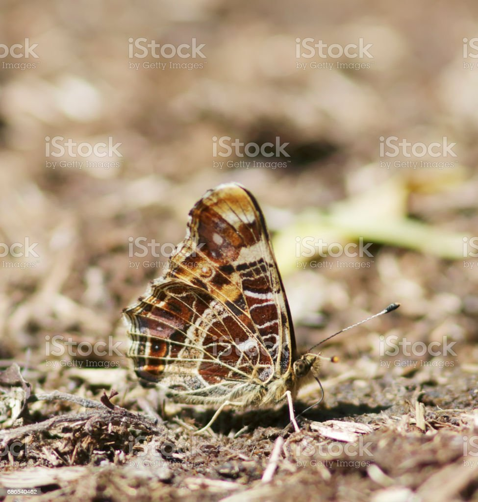 Map Butterfly (Araschnia levana) 1st Generation on Dung zbiór zdjęć royalty-free